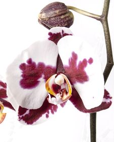 Free Close-up Of Orchids Royalty Free Stock Images - 95739849