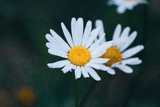 Free White Flower Blossoms Stock Photography - 95739862