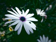 Free White Asters Stock Images - 95740264