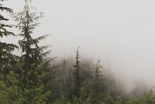 Free Green Tall Tress On A Foggy Place Stock Photography - 95798422