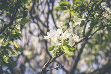 Free Blooming Apple Tree Stock Image - 95798571