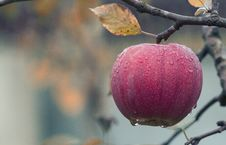 Free Close-up Of Fruits Hanging On Tree Royalty Free Stock Photography - 95798697