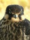 Free Hobby Falcon Royalty Free Stock Photos - 9580238