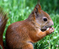 Free Squirrel Stock Photo - 9581420