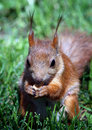 Free Squirrel Royalty Free Stock Images - 9581519