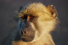 Young Chacma Baboon (Papio Ursinus) Royalty Free Stock Photo