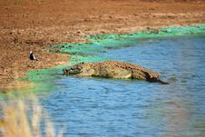 Free Crocodile (Crocodilia) Stock Photography - 9581042