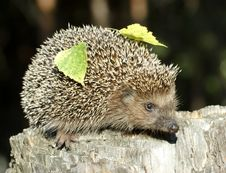Free Hedgehog On The Stump Royalty Free Stock Photos - 9581048