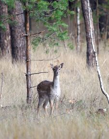 Free Young Of Deer Royalty Free Stock Images - 9581209
