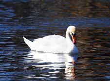 Free White Swan Royalty Free Stock Image - 9581306
