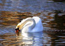 Free White Swan Stock Photos - 9581313
