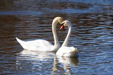 Free Two White Swans Stock Photos - 9581323
