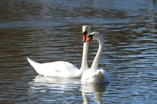 Free Two Big White Swans Stock Image - 9581341