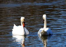 Free Two Big White Swans Royalty Free Stock Photos - 9581358