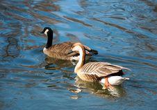 Free Two Swimming Ducks Stock Image - 9581371