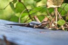 Free Lizard Stock Photos - 9581723