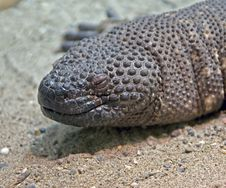 Free Mexican Beaded Lizard 1 Royalty Free Stock Images - 9581949