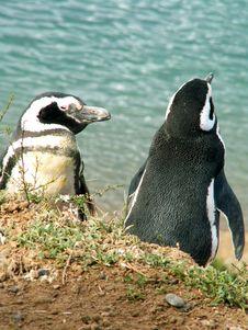 Free Magellan Penguins Royalty Free Stock Images - 9585119