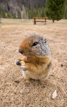 Free Ground Squirrel Eating Food Stock Photo - 9587930