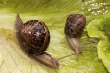 Two Snail Royalty Free Stock Photos