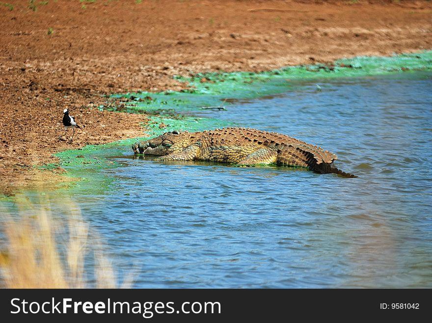 Crocodile (Crocodilia)