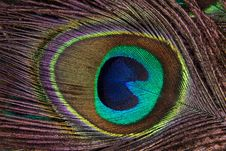 Free Feather, Close Up, Peafowl, Material Stock Image - 95823751