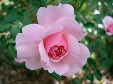 Free Flower, Rose, Rose Family, Pink Royalty Free Stock Images - 95823769