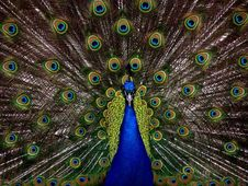 Free Peafowl, Vertebrate, Feather, Galliformes Stock Image - 95824041