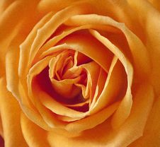 Free Flower, Orange, Rose, Yellow Royalty Free Stock Image - 95824046