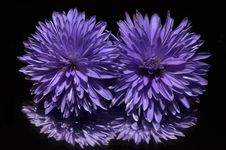 Free Flower, Purple, Violet, Aster Royalty Free Stock Images - 95824719