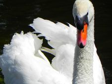 Free Bird, Swan, Water, Water Bird Royalty Free Stock Photography - 95824887