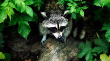 Free Raccoon, Fauna, Mammal, Procyonidae Royalty Free Stock Photography - 95825077