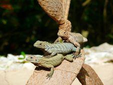 Free Reptile, Fauna, Scaled Reptile, Lizard Stock Images - 95825184
