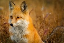 Free Fox, Wildlife, Red Fox, Mammal Royalty Free Stock Images - 95825189
