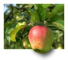 Free Fruit, Apple, Fruit Tree, Natural Foods Stock Images - 95827414