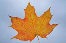 Free Leaf, Maple Leaf, Autumn, Tree Royalty Free Stock Photo - 95828185