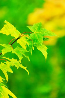 Free Leaf, Green, Maple Leaf, Deciduous Royalty Free Stock Images - 95828779
