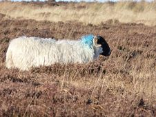 Free Sheep, Hay, Grass, Field Royalty Free Stock Photos - 95829058