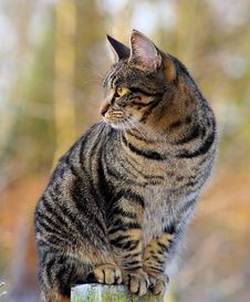 Free Cat, Dragon Li, Whiskers, Tabby Cat Royalty Free Stock Images - 95829269