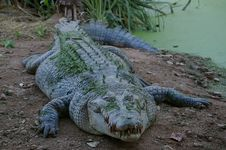 Free Crocodilia, Crocodile, American Alligator, Nile Crocodile Stock Photography - 95829492