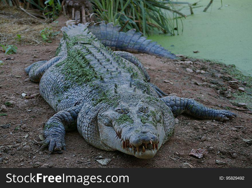 Crocodilia, Crocodile, American Alligator, Nile Crocodile