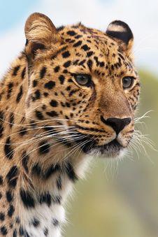 Free Leopard, Wildlife, Terrestrial Animal, Mammal Royalty Free Stock Images - 95830339