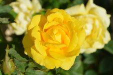 Free Flower, Rose, Rose Family, Yellow Royalty Free Stock Photography - 95830647