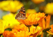 Free Flower, Yellow, Butterfly, Nectar Royalty Free Stock Photo - 95830865