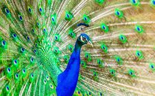 Free Peafowl, Ecosystem, Feather, Bird Royalty Free Stock Photos - 95831378