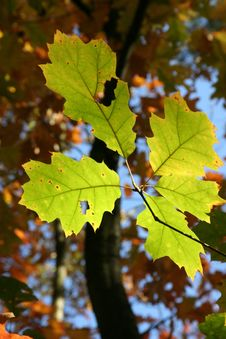 Free Leaf, Autumn, Maple Leaf, Tree Royalty Free Stock Photo - 95832755