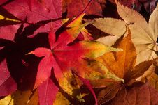 Free Leaf, Autumn, Maple Leaf, Flora Royalty Free Stock Images - 95832999
