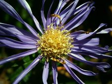 Free Flower, Aster, Flora, Plant Royalty Free Stock Image - 95833386