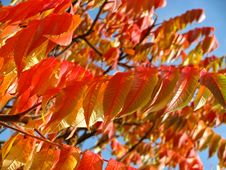 Free Leaf, Autumn, Deciduous, Rowan Stock Photos - 95835133
