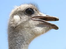 Free Ostrich, Beak, Bird, Fauna Stock Photo - 95835500